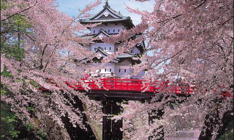 Hirosaki Cherry Blossom Festival Aptinet Aomori Sightseeing Guide Cherry Blossom Japan Japan Travel Destinations Japanese Cherry Tree