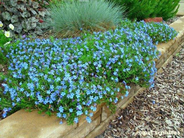 Small perennial border plants the shed by pet scribbles blue small perennial border plants the shed by pet scribbles blue perennial flowers try lithodora an mightylinksfo