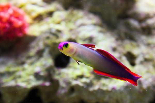 Purple Fire Fish Google Search Saltwater Fish Tanks Marine Fish Aquarium Fish