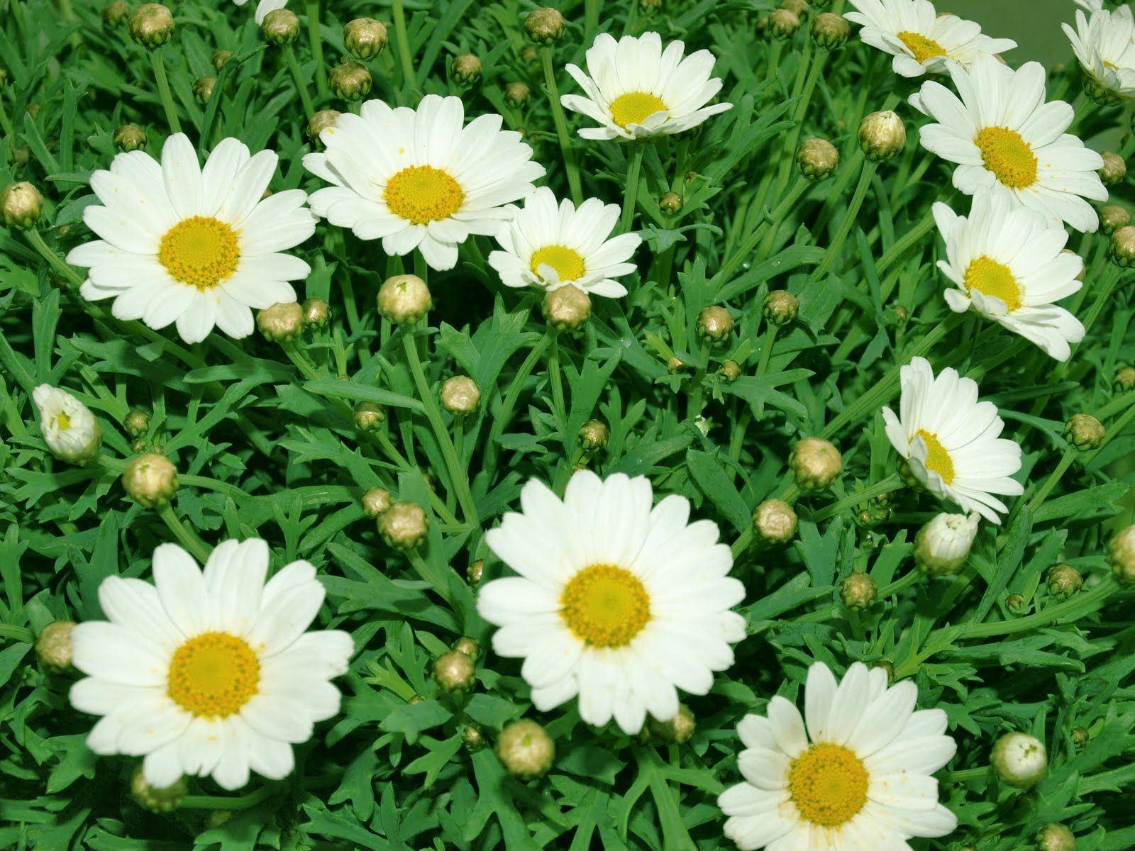 Collections of thousands of daisy flower wallpaper from all over the collections of thousands of daisy flower wallpaper from all over the world izmirmasajfo