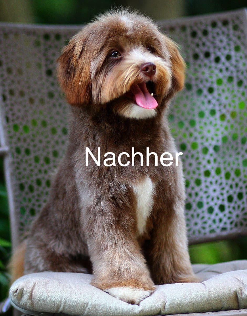 Schermaschine Gut Einsetzen Scherkurs Pforzheim Hunde Schermaschinen Zwergpudel Grosspudel Hunde