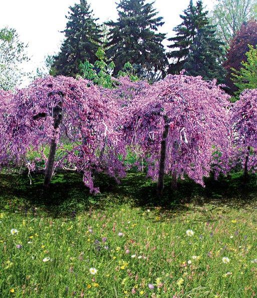 Cercis 'Lavender Twist®'