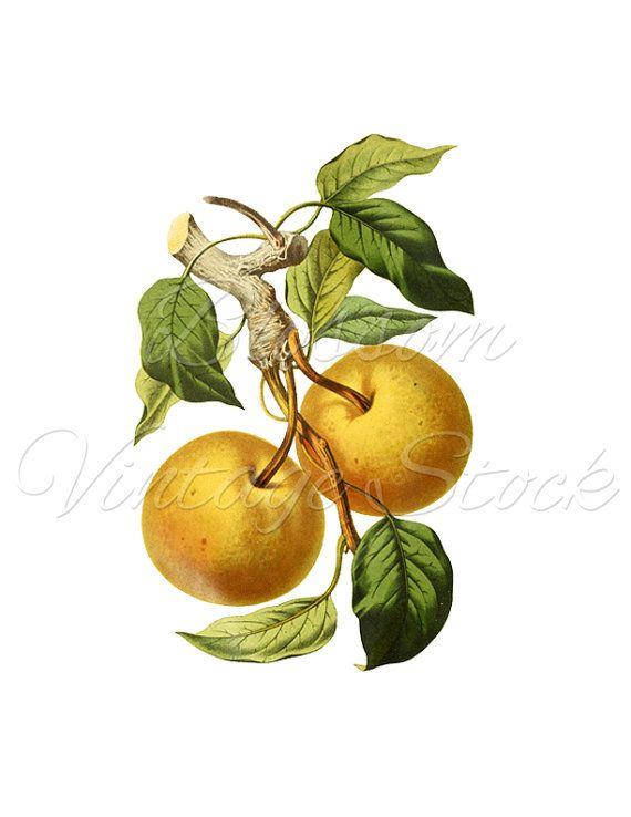 Peach Illustration Vintage Botanical PNG Fruit Image Graphic For Prints