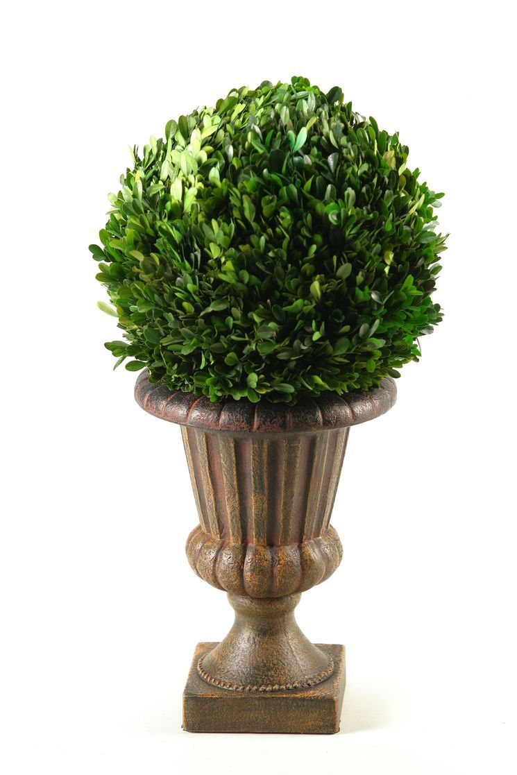 Preserved Boxwood Ball in Pedestal Urn