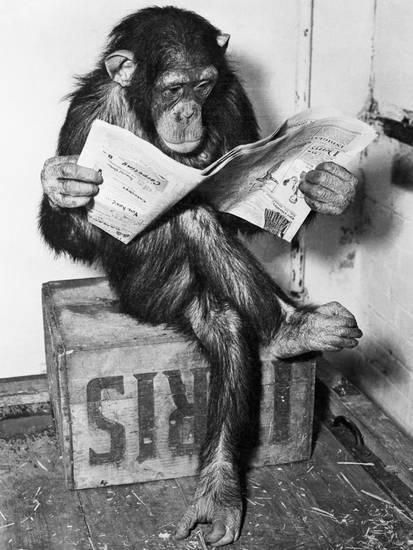 Photo of Chimpanzee Reading Newspaper Photographic Print by Bettmann at AllPosters.com