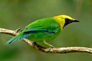 Foto Burung Cucak Hijau Burung Hewan Hijau