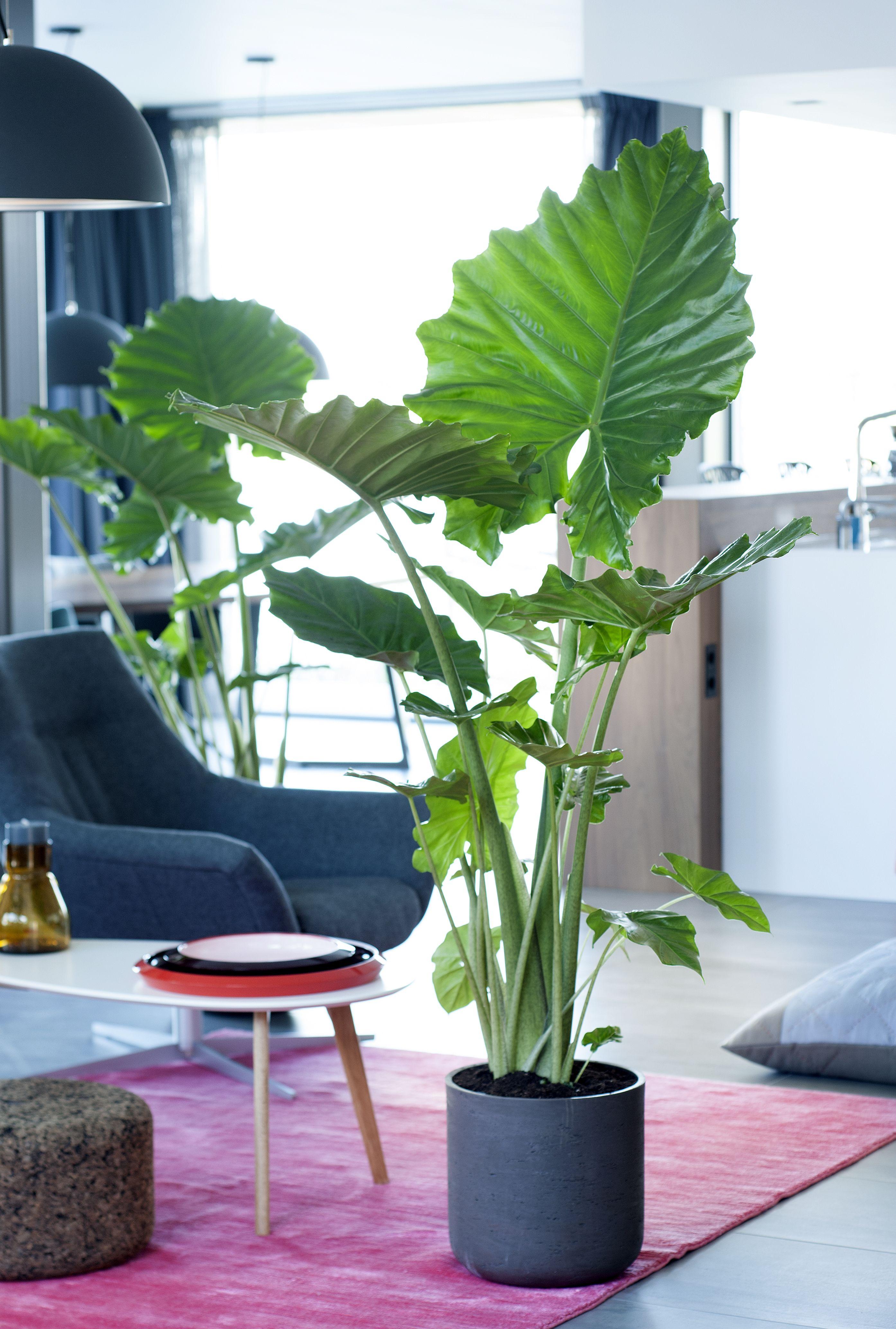 alocasia zen plante inspiration. Black Bedroom Furniture Sets. Home Design Ideas