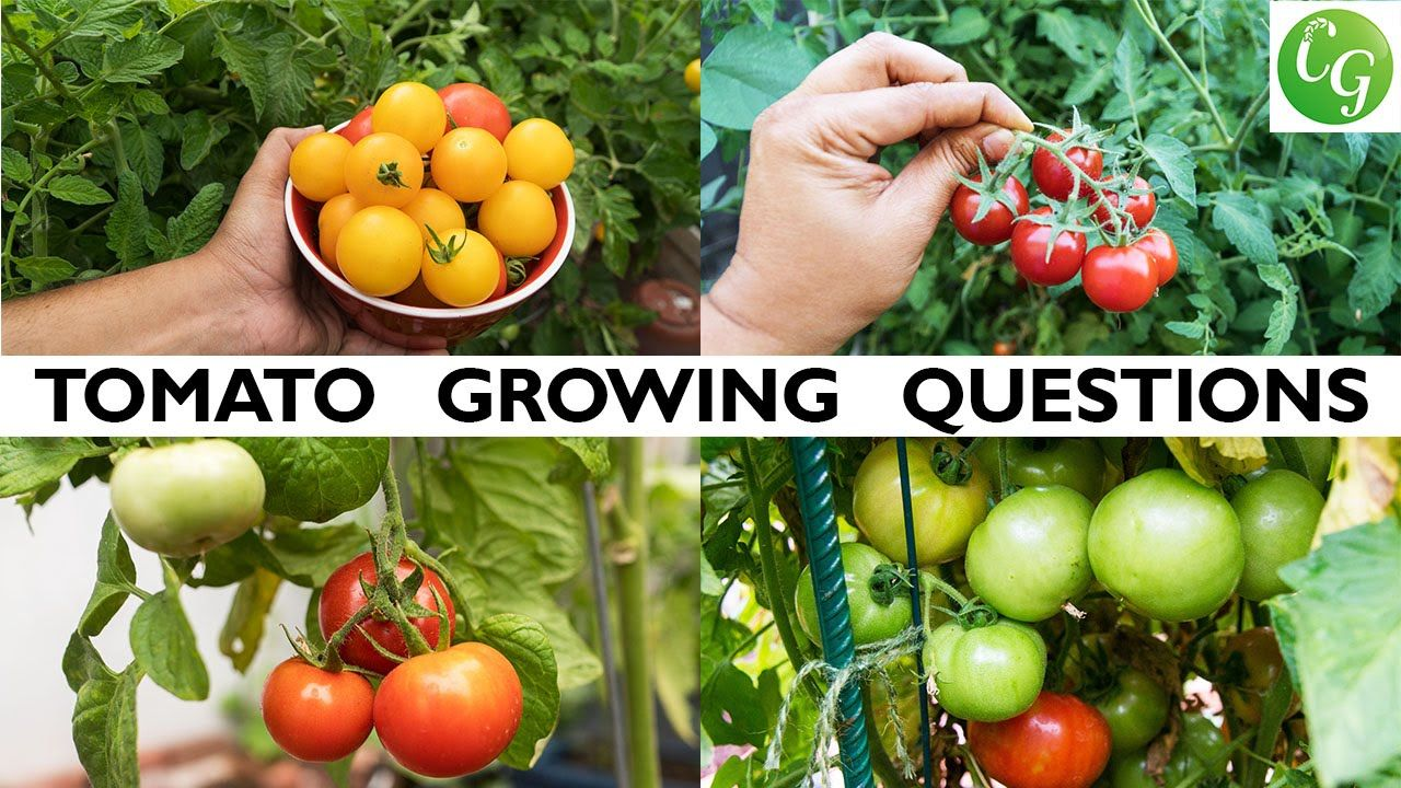 Your Tomato Growing Questions Answered Tips For Growing Great