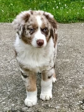 Australian Shepherd Puppy For Sale In Lexington Ky Adn 34091 On