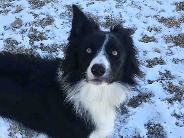 Border Collie Dog For Adoption In Ames Ia Adn 753034 On