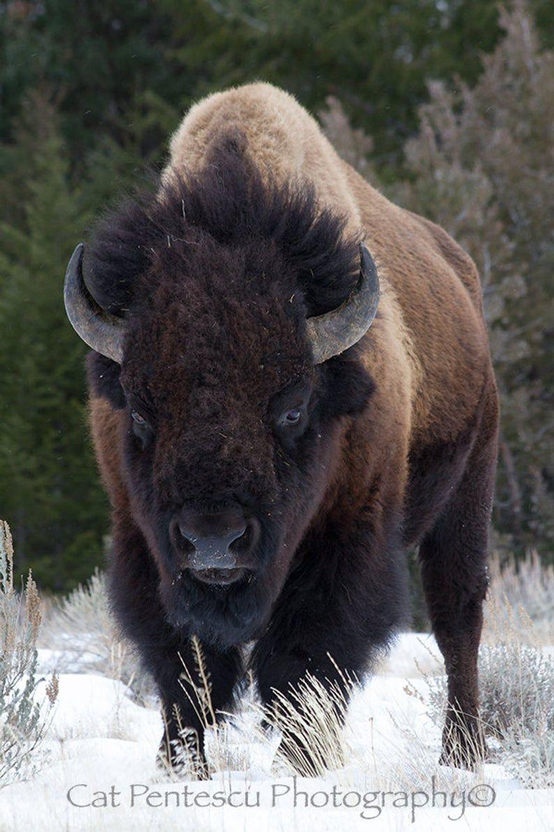 American Buffalo Bison Wild Wildlife Mammal Animal Bull Winter Snow Wilderness Portrait Fine Art Nature Wildlife Photography Cat Pentescu #wildanimals