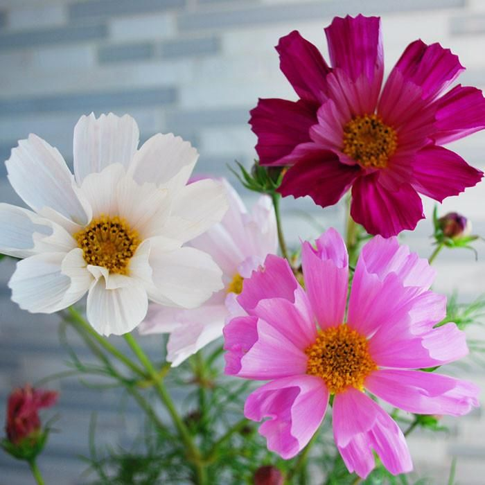 Cosmos Sea Shells Organic Cosmos Flowers Flower Pictures Beautiful Flowers