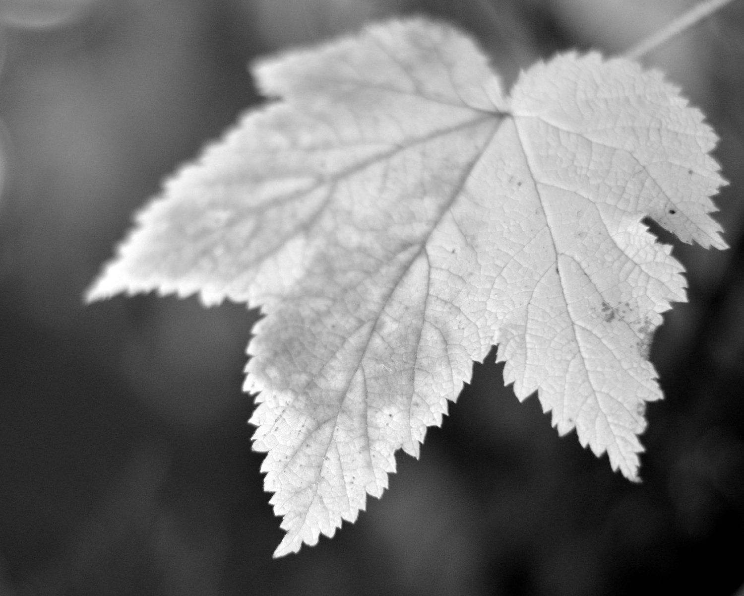 Leaf Photography Black and White 11x14 by PureNaturePhotos on Etsy