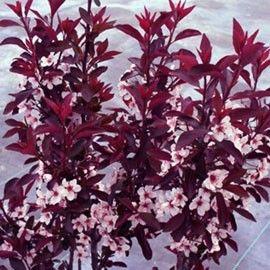 Feuillage pourpre contrastant avec des fleurs roses en boutons puis blanches. Petit développement.