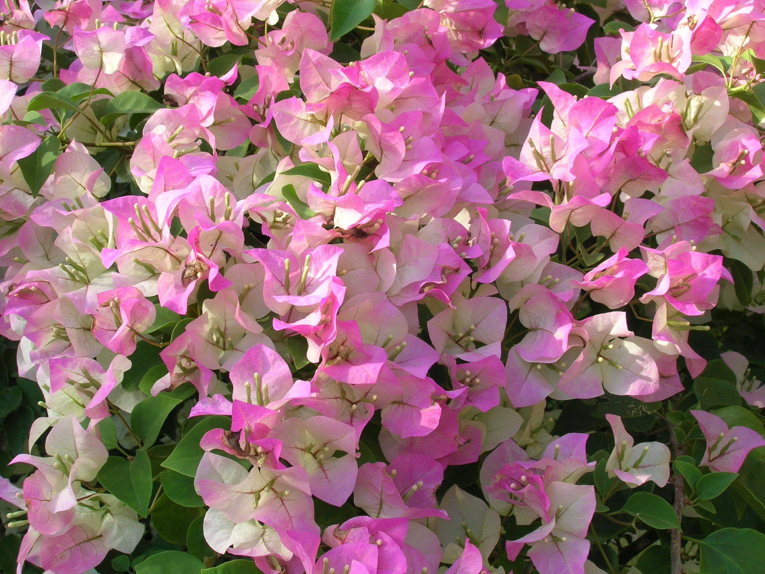 Bougainvilleaimages Bougainvillea Sp Pink And White Surprise