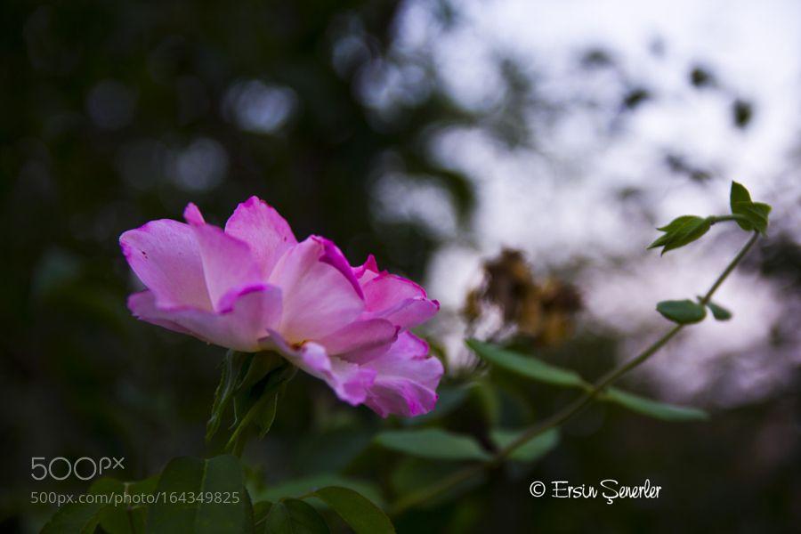 rose by Aersz_Ca. @go4fotos
