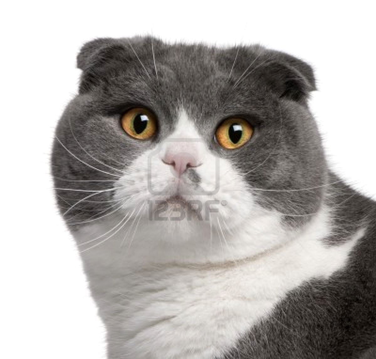 Stock Photo Cat scottish fold, Scottish fold, Scottish