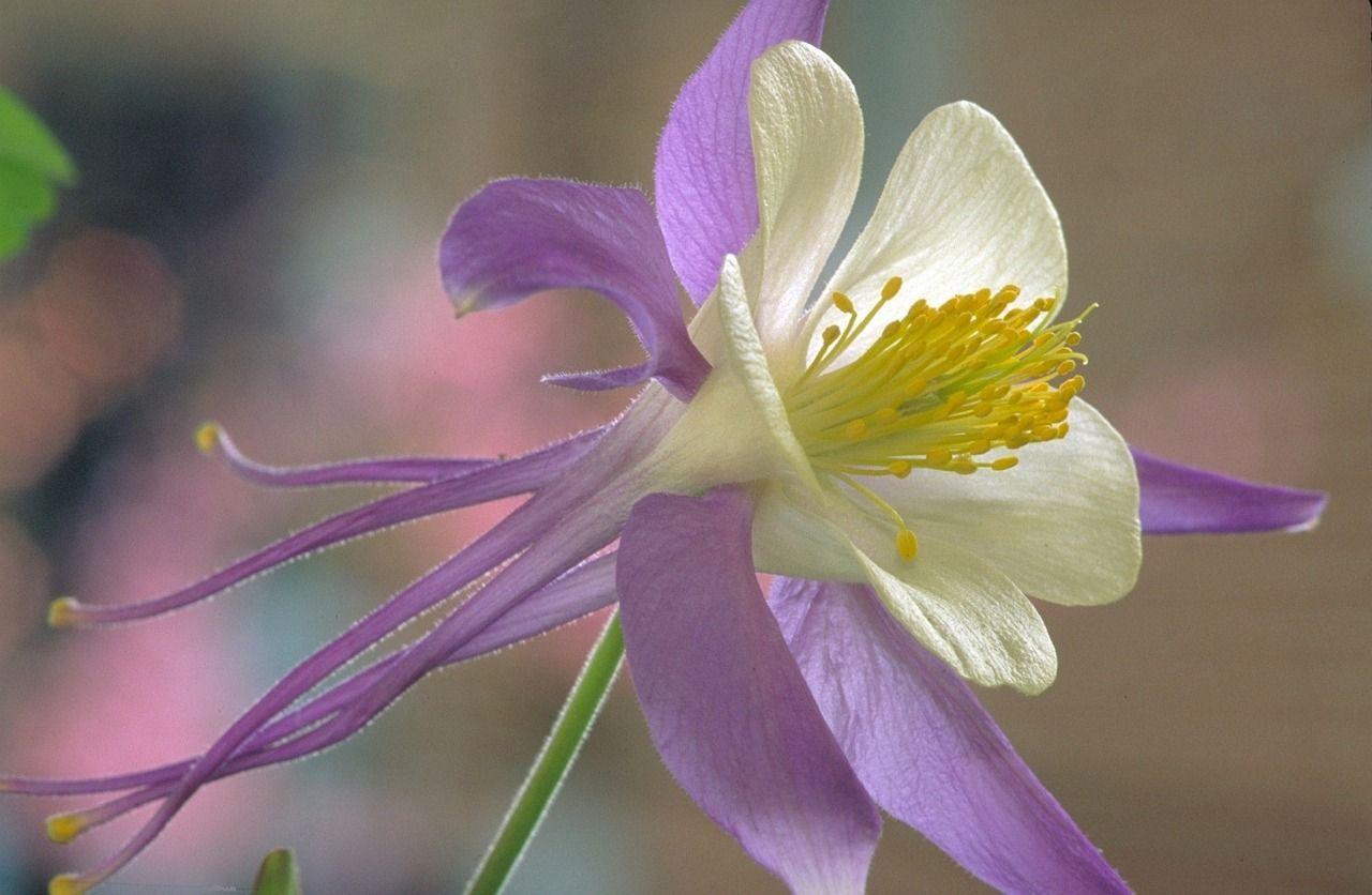 Free Image On Pixabay Rocky Mountain Columbine Flower Columbine