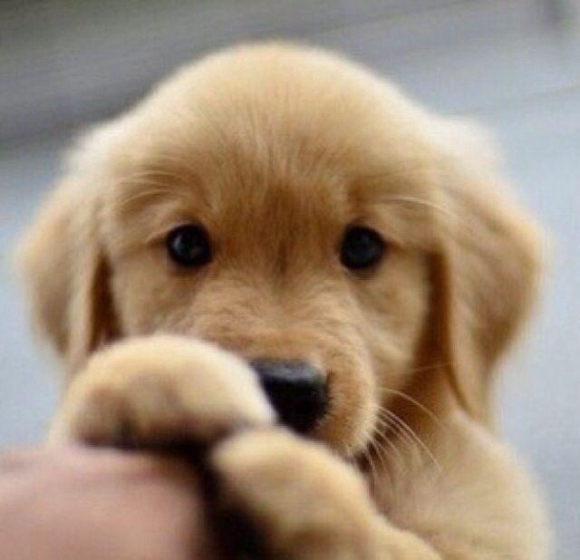 Cute Puppy Cute Animals Puppies Retriever Puppy