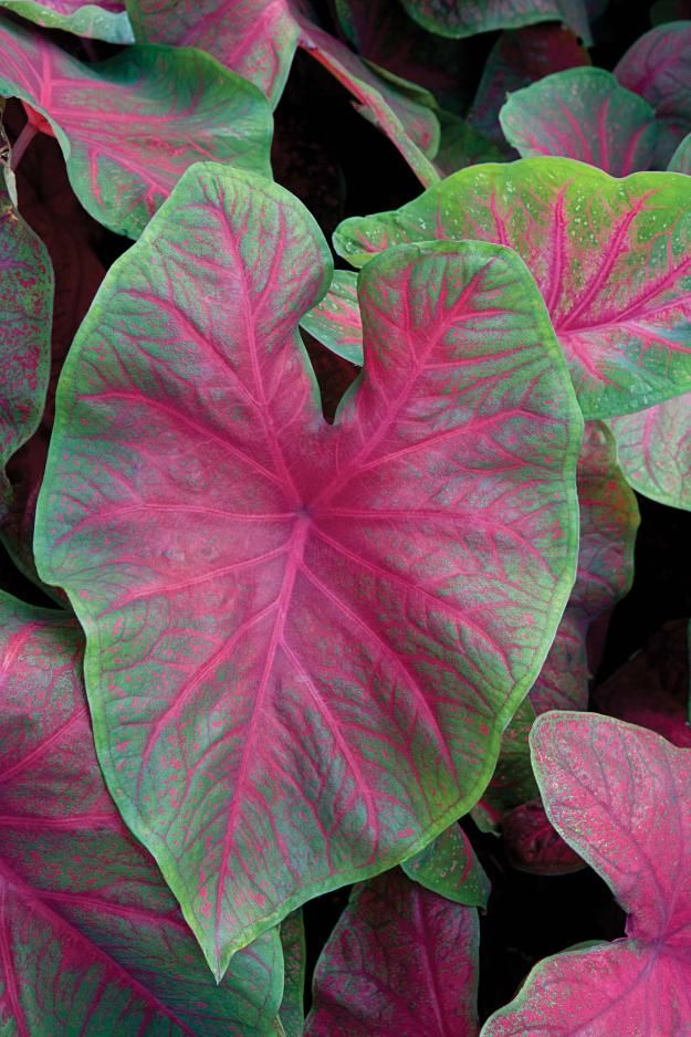 caladium 39 brandywine 39 a fancy leaved caladium with lar garden plants greenhouses. Black Bedroom Furniture Sets. Home Design Ideas