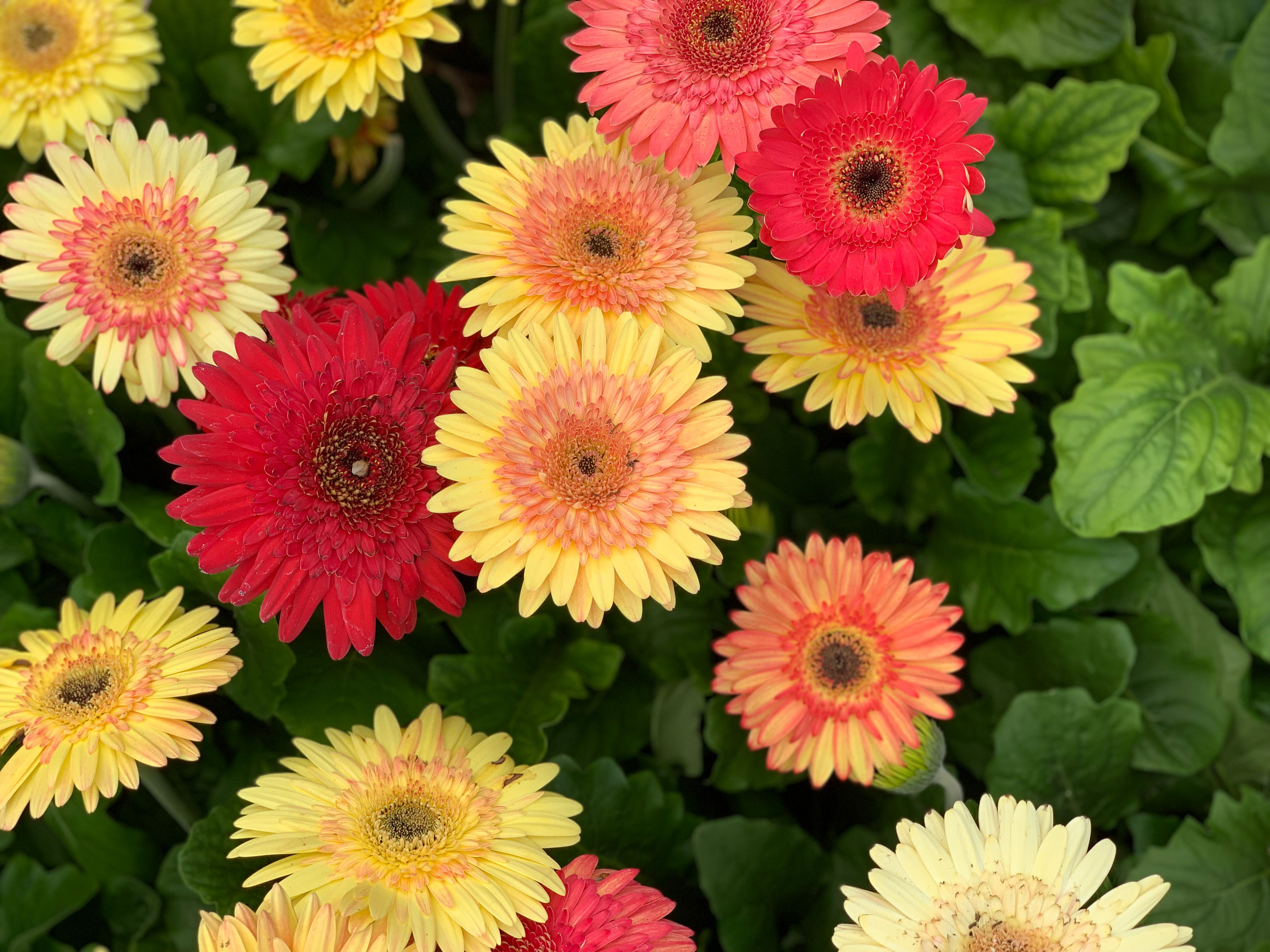 Gerbera Daisy Gerbera Daisy Gerbera Spring Plants