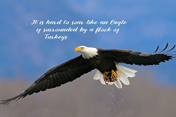 Soar Like An Eagle If You Can By Elaine Plesser Eagle Eagles Eagles Quotes