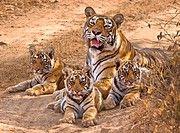 DPA-ADI-173617 Tigress panthera tigris tigris with cubs  Ranthambore national park  Rajasthan  India