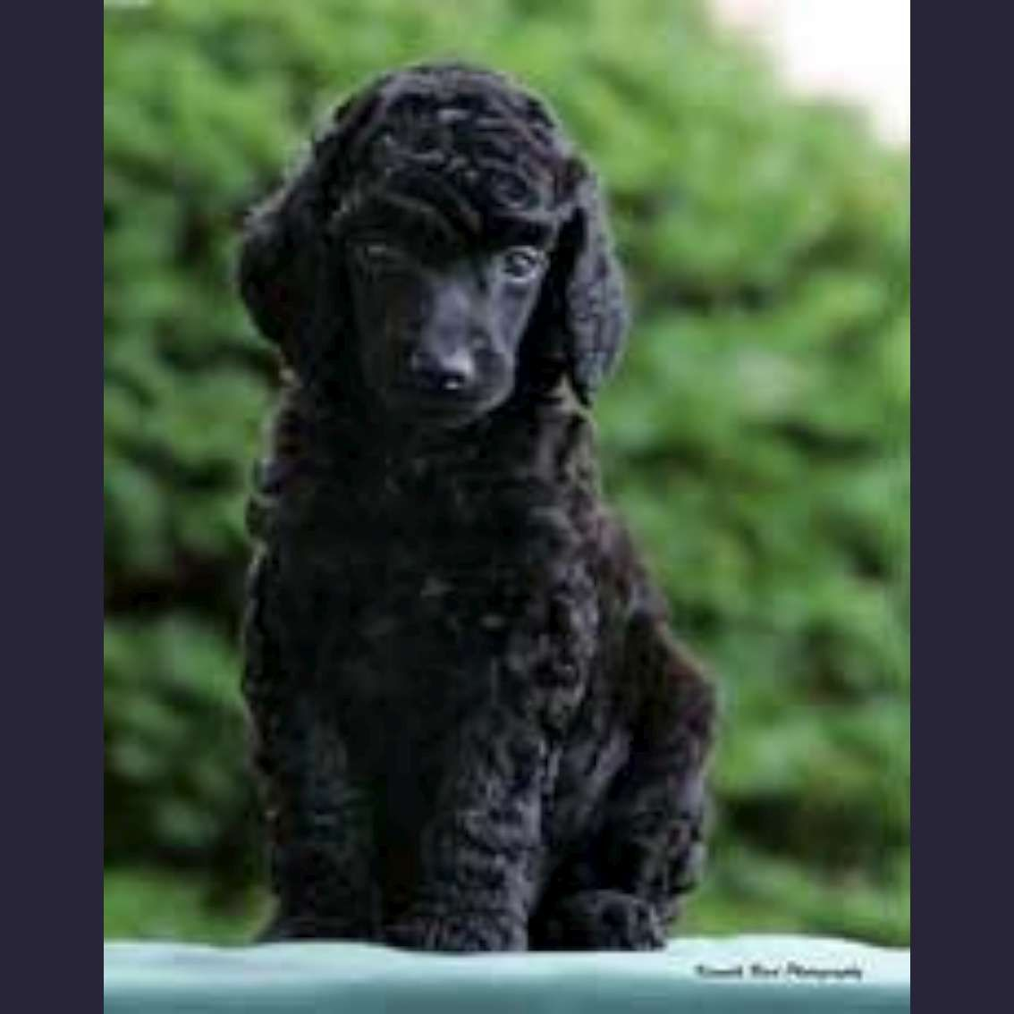 Soo Adorable Standard Poodle Puppy Poodle Puppy Standard