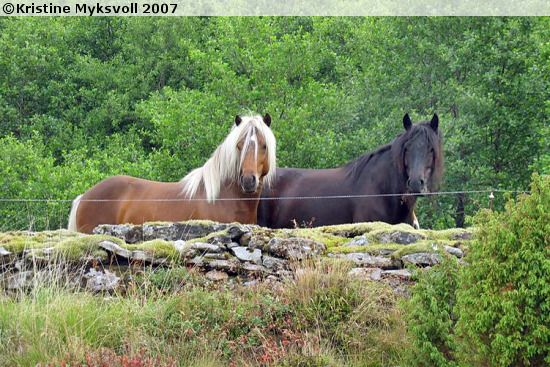Nordland Horse stallion Waltenberg Odin (left) and mare Vesle Ronja