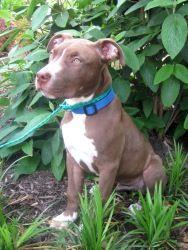 Adopt Georgio On Pitbull Terrier Bull Terrier Dog Terrier Dogs