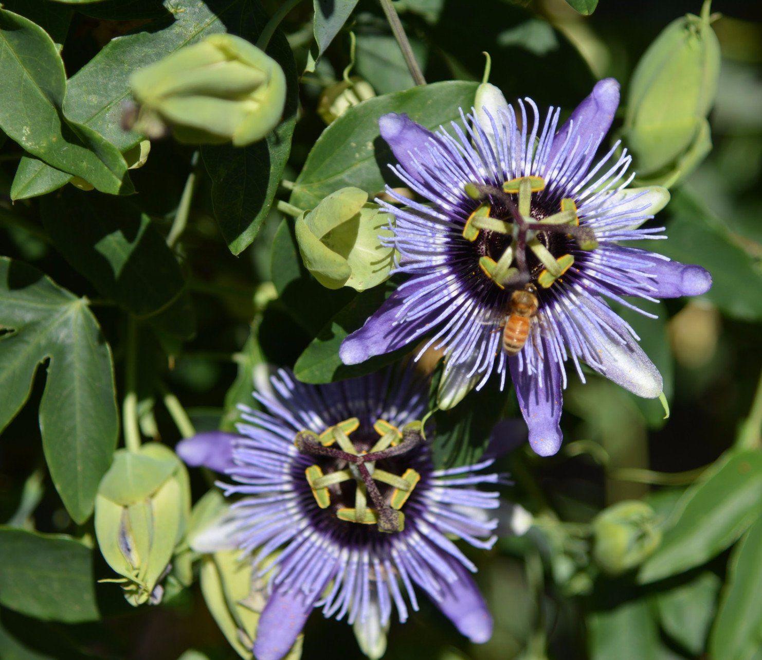 Passiflora Blue Bouquet 4 Pot Blue Bouquet Passion Flower Annual Flowers