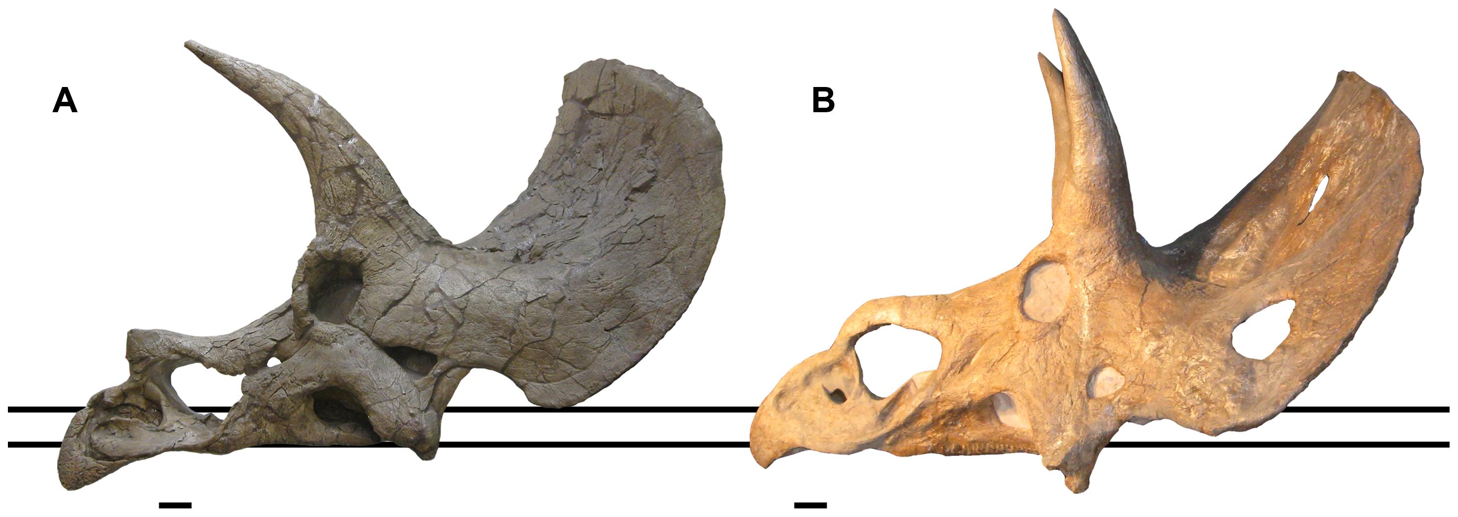 Comparaison des crânes de: A holotype Triceratops 'elatus' USNM 1201 et Nedoceratops USNM 2142. Barre d'échelle: 10 cm