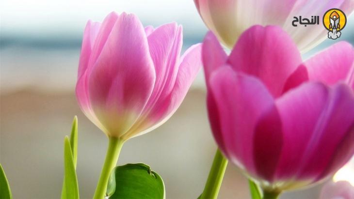 زهرة الحب زهرة التوليب Tulips Flowers Spring Tulips Spring Flowers Wallpaper