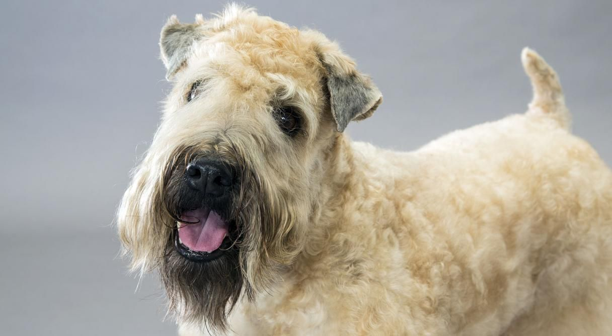 airedale terrier club of america - 1009×554