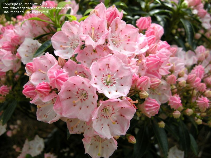 Today S Bloom Is Mountain Laurel Tiddlywink Kalmia Latifolia Mountain Laurel Shade Loving Flowers Kalmia Latifolia