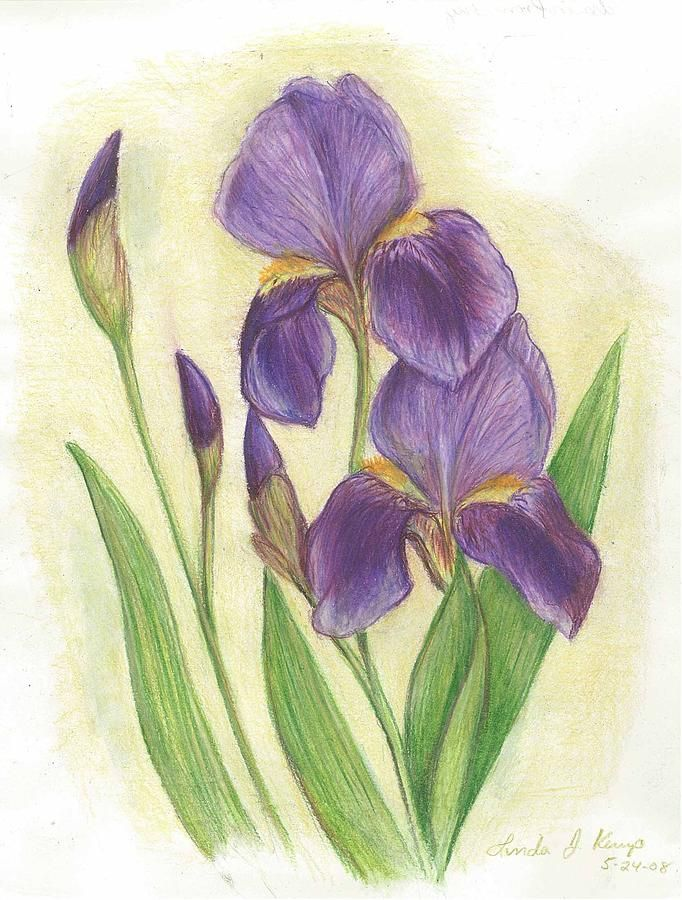 Irises Drawing Google Search Iris Drawing Flower Drawing Purple Iris