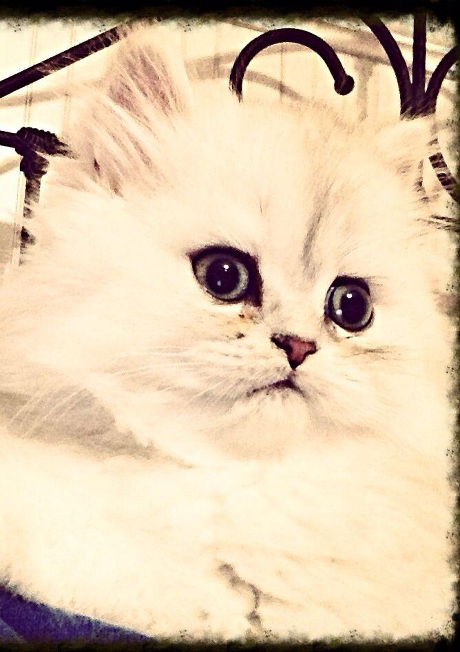 Asher The Silver Chinchilla Persian Kittens Persian Cat Kittens Cutest