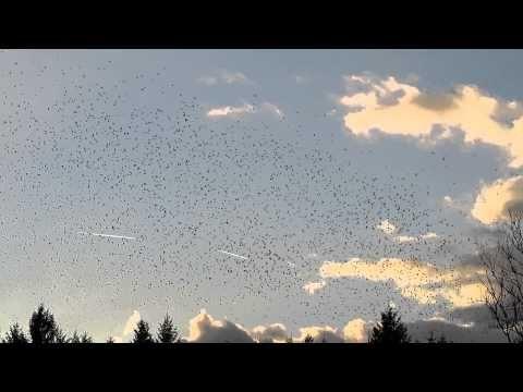 Bergfinken, auch Nordfinken genannt sieht man in Deutschland als Durchzügler oder Wintergast. Bergfinken ziehen in sehr großen Schwärmen . Zur Zeit sammeln sich hundertausende allabendlich im Hasler Wald im Landkreis Lörrach. Aus dem Norden kommend suchen...