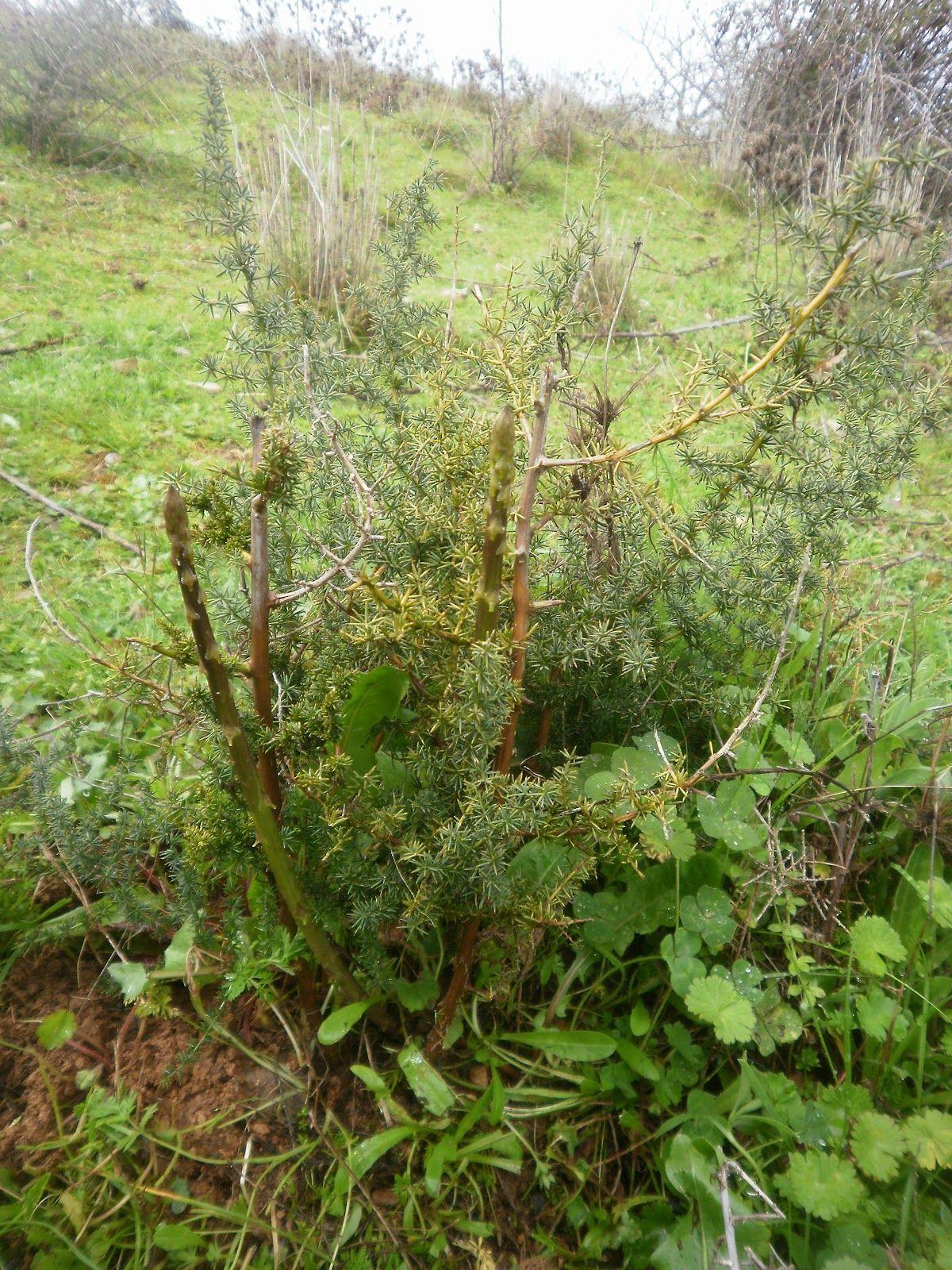 esparraguera silvestre