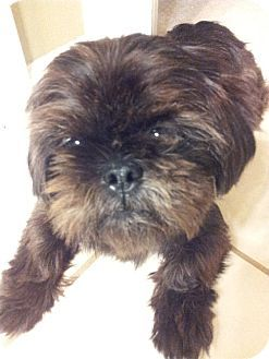 Little Rock Ar Shih Tzu Pekingese Mix Meet Nicky A Dog For