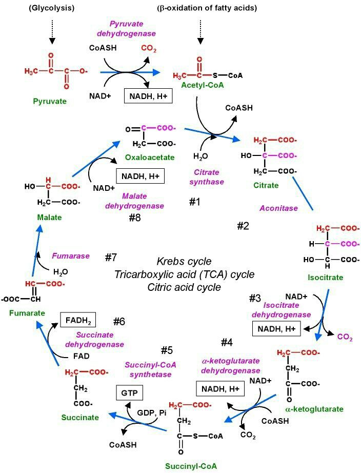 Krebs cycle – Krebs Cycle Worksheet