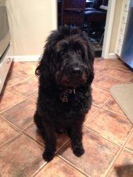 Adopt Ca Pudge On Poodle Mix Dogs Labrador Retriever Dog
