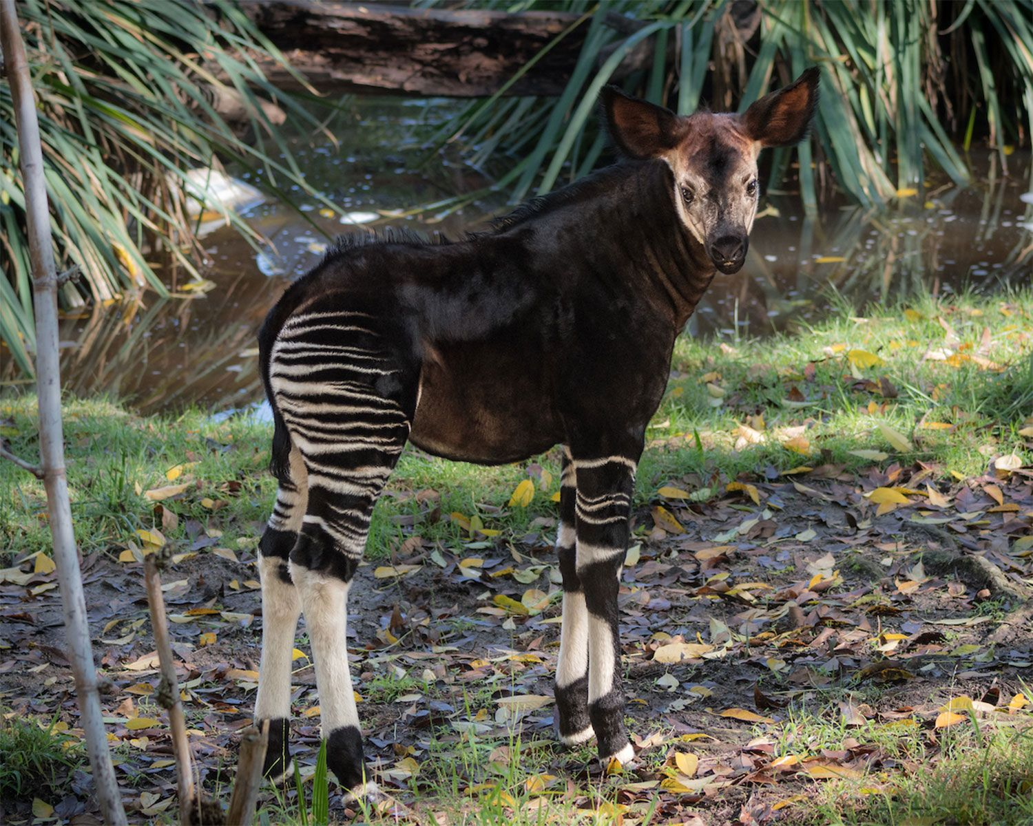 Los Angeles Zoo Welcomes Its First Rare Female Forest Giraffe Okapi Baby Animals Pictures Los Angeles Zoo