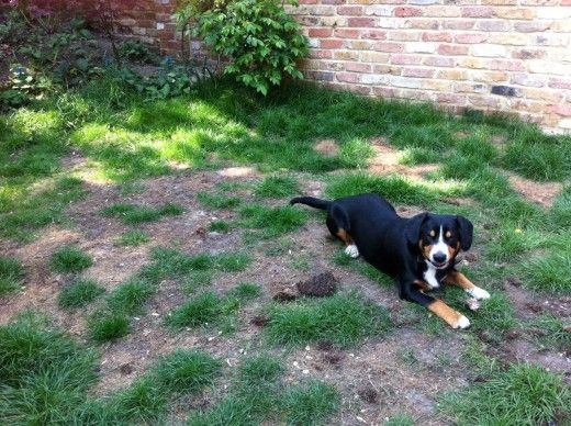 Lawn with the typical brown patches caused by the nitrogen in dogs' urine