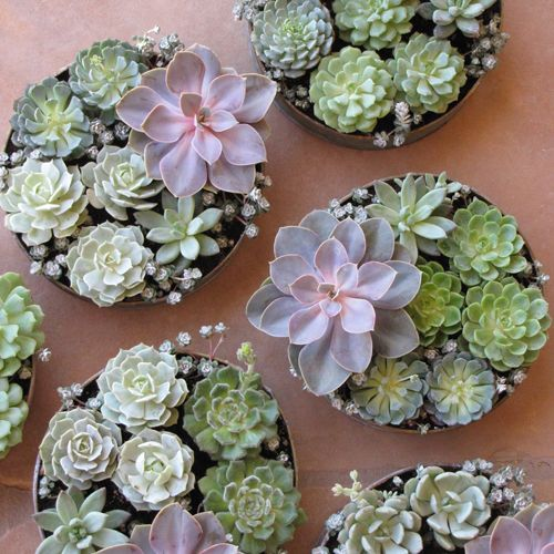 Succulent centerpieces echeveria and