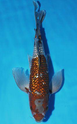 Koi Auction Buy Online The Best Nishikigoi From Niigata Japan Koi Koi Fish Koi Carp Fish