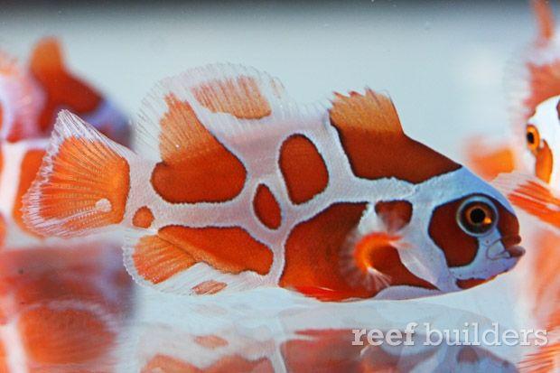 Peace Keeper Maroon Clownfish Is A Stunning New Strain Of Premnas Saltwater Aquarium Fish Saltwater Aquarium Tropical Fish