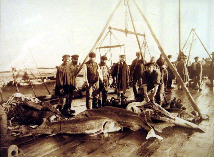 Взвешивание и первичная разделка осетровых. Астрахань, конец XIX-начало ХХ века.
