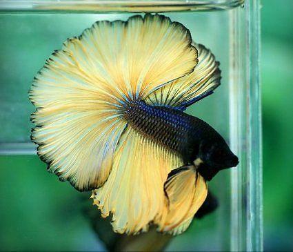 Aquabid Com Halfmoom Betta Auctions Fri Aug 29 02 01 28 2014 Betta Betta Fish Tank Betta Fish