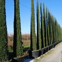 Cupressus sempervirens \'Totem\' | Evergreen trees, plants, bushes ...